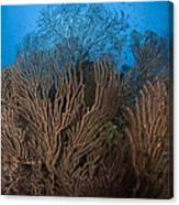 Sea Fan Seascape, Belize Canvas Print