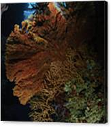 Sea Fans, Fiji Canvas Print