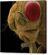 Sem Of A Mutant Fruit Fly Canvas Print