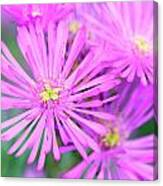 Showy Vygie Canvas Print