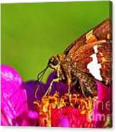 Silver-spotted Skipper Canvas Print