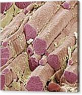 Skeletal Muscle Fibres, Sem Canvas Print