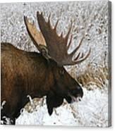 Snow Bull Canvas Print