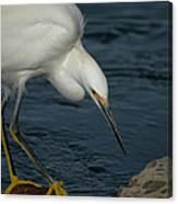 Snowy Egret 8 Canvas Print