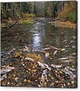 Sockeye Salmon Spawning Canvas Print