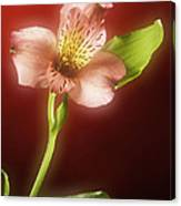 Soft Red Lilly Flower Canvas Print