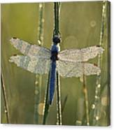 Southern Skimmer Orthetrum Brunneum Canvas Print