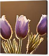 Spring Time Crocus Flower Canvas Print