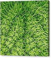 Stinging Nettle Leaf, Sem Canvas Print