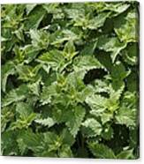Stinging Nettle (urtica Dioica) Canvas Print