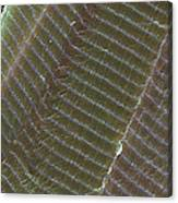 Striated Muscle, Sem Canvas Print