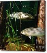 Striped Bass In Aquarium Tank On Cape Cod Canvas Print