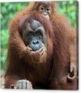 Sumatran Orangutan Pongo Abelii Mother Canvas Print