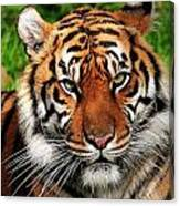 Sumatran Tiger Portrait Canvas Print