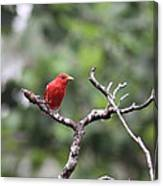 Summer Tanager Canvas Print