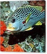 Sweetlips Fish Canvas Print