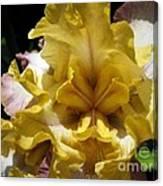 Tall Bearded Iris Named Butterfingers Canvas Print