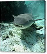 Tawny Nurse Shark Nebrius Ferrugineus Canvas Print