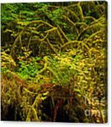 Temperate Rain Forest Canvas Print