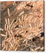 Termite Nest Reticulitermes Flavipes Canvas Print