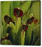 The Rare Carnivorous Sun Pitcher Plant Canvas Print