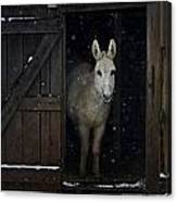 The White Mule Canvas Print
