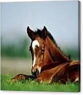 Thoroughbred Foal, Ireland Canvas Print