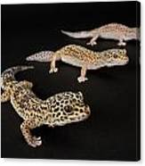 Three Female Leopard Geckos Eublepharis Canvas Print