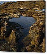 Tidepool In Maine Canvas Print