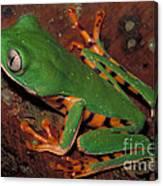 Tiger-striped Monkey Frog Canvas Print