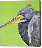 Tricolor Heron Portrait Canvas Print