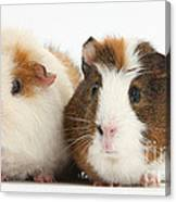 Two Guinea Pigs Canvas Print