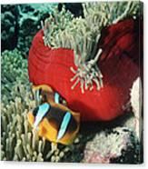 Twoband Anemonefish Canvas Print