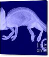 Veiled Chameleon X-ray Canvas Print