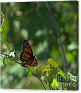 Viceroy Butterfly Canvas Print