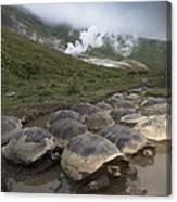Volcan Alcedo Giant Tortoise Geochelone Canvas Print