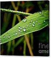 Water Drops On Blade Of Grass Canvas Print