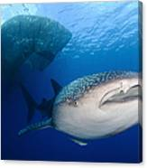 Whale Shark Feeding Under Fishing Canvas Print