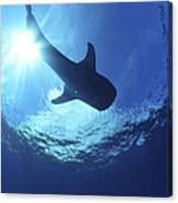 Whale Shark Near Surface With Sun Rays Canvas Print
