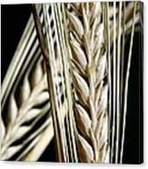 Wheat Ears (triticum Sp.) Canvas Print