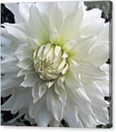 White Dahlia Beauty Canvas Print