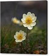 White Dryas Canvas Print