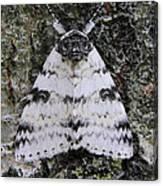 White Underwing Moth Canvas Print