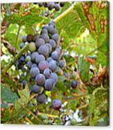 Wild Grapes Canvas Print