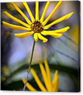 Wild Swamp Daisy Canvas Print