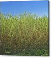 Willow Bioenergy Crop, Sweden Canvas Print