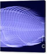 X-ray Of A Flame Hawkfish Canvas Print