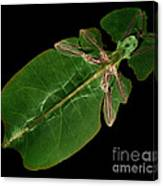 X-ray Of A Giant Leaf Insect Canvas Print