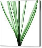 X-ray Of Hyacinth Canvas Print
