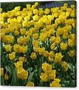 Yellow Tulips 2 Canvas Print